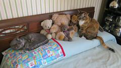 Millie and Gracie 12 July 2018 0202Ri 9x16 (edgarandron - Busy!) Tags: cat cats kitty kitties tabby tabbies cute feline