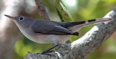 Just Flew In (ACEZandEIGHTZ) Tags: bluegrey gnatcatcher backyard birdwatcher avian nature nikon d3200 macro closeup bokeh tree branch coth coth5 sunrays5