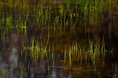 Marsh Grasses at Sunset-4067.jpg (bryanstewartcreative) Tags: bryanstewartcreative sunset goldenhour marsh pond naturephotography nature highlight standout lighting nikon nikond750 d750 grass water green lastlight thegreatlakesstate puremichigan naturalmichigan michiganawesome awesomemitten kensingtonmetropark michiganders mittenmichigan vibrant saturation grasses marshgrass