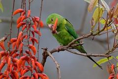 Toui tirica - Plain Parakeet (happybirds.ch) Tags: brésil brasil brazil happybirds wild nature sauvage southamerica bird itatiaia nationalpark parcnational oisea aves ngc coth coth5