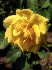 (Tölgyesi Kata) Tags: nemzetibotanikuskert vácrátótibotanikuskert botanikuskert botanicalgarden withcanonpowershota620 vácrátót rosen rosa rose rózsa fleur virág summer nyár yellowflower