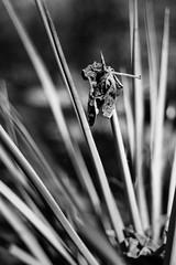 History Rhymes (belleshaw) Tags: blackandwhite ranchosantaanabotanicgarden nature cactus leaf skewered caught point sharp sword victim summer dried dead garden plant gravity catch detail abstract bokeh