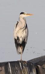 Grey Heron ... Early Morning Sunrise (WiltsWildAboutBirds) Tags: ardeidae britishbirds canon wildlifephotography ardeacinerea wiltswi waterbirds heron birds oxfordshire earlymorningsunrise greyheron farmoor farmoorresoxfordshireaug30th2018