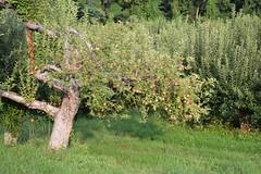 Apple Tree (KaDeWeGirl) Tags: newyorkstate orange county warwick apple orchard tree afternoon sun green
