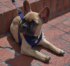 Cute Doggie (Scott 97006) Tags: dog canine animal cute ears alert
