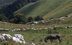 Temerario (lincerosso) Tags: asino animalidomestici montepizzoc forestadelcansiglio pascolo paesaggio mountainscape estate bellezza armonia temerarietà