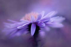 céleste (christophe.laigle) Tags: christophelaigle fleur macro nature flower fuji beauty xpro2 xf60mm purple coth5 coth