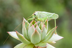 Grashüpfer (MR@tter) Tags: grashüpfer insekten natur tiere canon ef100mm f28 macro usm canonef100mm insect grasshopper animal