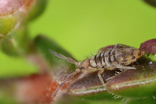Entomobrya nigrocincta female
