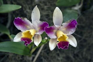 Orchids,  Botanical Garden - Rio de Janeiro.