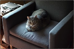 Jackson, September 09, 2018 (Maggie Osterberg) Tags: leica m9p zeisscsonnar5015 maggieo lincoln nebraska cat jackson tabbycat catloaf colorefexpro4