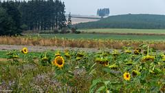 05092018-DSC_0068 (vidjanma) Tags: champ fleurs tournesols ardenne sapins