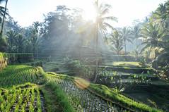 good morning Ubud (marin.tomic) Tags: bali ubud indonesia rice riceterrace palm palms sunrise morning sun light travel nikon d90 asia asian southeastasia traveler summer holiday vacation landscape tropical island