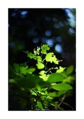 2018/8/14 - 3/18 photo by shin ikegami. - SONY ILCE‑7M2 / 七工匠  7artisans 50mm f1.1 (shin ikegami) Tags: 紫陽花 flower 花 sky 空 井の頭公園 吉祥寺 summer 夏 asia sony ilce7m2 sonyilce7m2 a7ii 50mm 七工匠 7artisans 7artisans50mmf11 tokyo photo photographer 単焦点 iso800 ndfilter light shadow 自然 nature 玉ボケ bokeh depthoffield naturephotography art photography japan earth