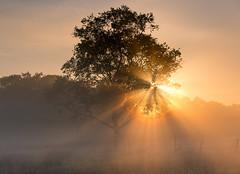 Morning highs (chrismarr82) Tags: nikon scotland d750 tree sunshine sun mist fog