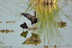 Capó reial (Enllasez - Enric LLaó) Tags: aves aus bird birds ocells pájaros deltadelebre deltadelebro delta 2018 rietvell morito