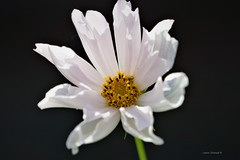 White Cosmos Flower (Anton Shomali - Thank you for over 1 million views) Tags: closeup macro white cosmos flower with tubular petals whitecosmosflower tubularpetals dark flickr light sony garden nanture summer hot