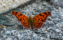 Question Mark Butterfly (AnthonyVanSchoor) Tags: anthonyvanschoor maryland usa
