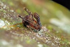 Assassin spider / Pelican spider (Eriauchenius sp.) - DSC_2722 (nickybay) Tags: africa madagascar macro andasibe voimma assassin spider pelican archaeidae eriauchenius
