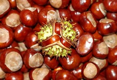 Horse chestnuts . conkers (1) (Simon Dell Photography) Tags: horse chestnuts conkers autumn fall winter display scene colors nuts seeds lots