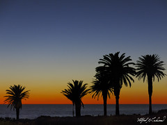 Dawn Palms_IMG_1793 (Alfred J. Lockwood Photography) Tags: alfredjlockwood nature landscape seascape sunrise dawn twilight morning winter palosverdespeninsula southerncalifornia pacificocean sea water palmtrees silhouette color serene terranearesort