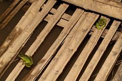 Chinese Flying Frog (Rhacophorus dennysi) (cowyeow) Tags: chinese flyingfrog rhacophorusdennysi chineseflyingfrog rhacophorus dennysi green frog forest hunan nature china asia asian macro wildlife frogs amphibian herp herps herping herpetology farm creek water pond