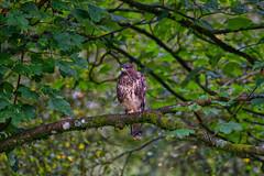 Buzzard (Margaret S.S) Tags: common buzzard raptor