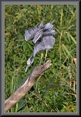 My new pet (WanaM3) Tags: wanam3 nikon d7100 nikond7100 texas pasadena clearlakecity horsepenbayou bayou outdoors nature wildlife canoeing paddling animal bird heron ycnh yellowcrownednightheron nyctanassaviolacea