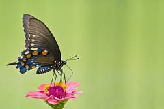 pipevine swallowtail (G_Anderson) Tags: butterfly garden flowers backyard