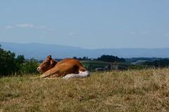 Naissance (Cletus Awreetus) Tags: france montsdulyonnais rhône hauterivoire agriculture bovin vache veau misebas vélage pré animal animaldomestique