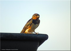 Schwalbensommer - swallow summer (1)