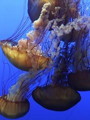 IMG_1224 (paschulea) Tags: monterey aquarium