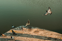 hey guys! (karwinho) Tags: bird pigeon herd troop group wings fly flying move movement river water animal nature dove summer concrete urban wildlife grey gray feather