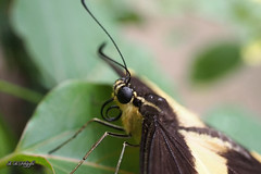 Closeup (hespasoft) Tags: butterfly insect animal wildlife macro