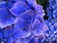 Hydrangea (PeterCH51) Tags: blue hydrangea hortensie hortensia macro makro closeup blueflower blueflowers isolabella borromeanislands bluehydrangea iphone peterch51