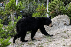 Black bear roaming Yellowstone (matthiasvanhove) Tags: bear blackbear yellowstone wildlife natgeo nature animal wyoming usa fujifilm fuji