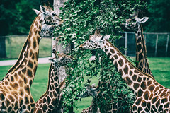 Giraffe feeding (John Willoughby) Tags: warminster england unitedkingdom gb longleat safari park zoo feeding