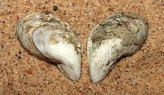 Quagga mussel (Dreissena bugensis) (shadowshador) Tags: quagga mussel dreissena bugensis neomura eukaryota opisthokonta holozoa filozoa animalia eumetazoa bilateria protostomia lophotrochozoa mollusca conchifera bivalvia heterodonta euheterodonta veneroida dreissenoidea dreissenidae conchology malacology invertebrate invertebrates taxonomy scientific classification biology frashwater lake shell shells sand sandy beach wildlife life