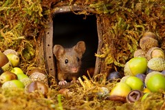 House mouse in a mossy hole with acorns and berry's (8) (Simon Dell Photography) Tags: wild garden house mouse nature animal cute funny fun moss covered log pile acorns nuts berries berrys fuit apple high detail rodent wildlife eye ears door home sheffield ul old english country s12 simon dell photography