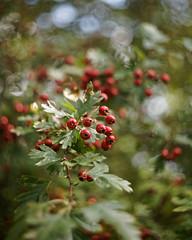 (farbstich.) Tags: crataegus hawthorn bokeh biotar 58mm m42 fall autumn berries weisdorn