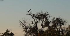 Sunset Heron (zeesstof) Tags: zeesstof vacation photoassignment southcarolina hiltonhead wildlife pinckneyisland wildliferefuge bluffton butoridesvirescens greenheron juvenile bird tree sky