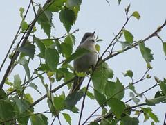 Whitethroat (_jons_) Tags: moorenaturereserve wildlife wildlifephotography nature naturephotography birdingphotography birding birds birdwatching birdphotography