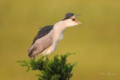 bcnh (johnbacaring) Tags: heron blackcrownednightheron birds birding wildlife nature