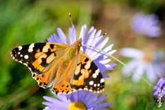The first days of the fall... (N.Batkhurel) Tags: season autumn animals insects flower forest flora mongolia macro closeup butterfly ngc nikon nikond5200 natur nikkor 105mm