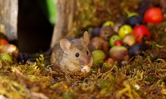 wild house mouse   (18) (Simon Dell Photography) Tags: wild garden house mouse nature animal cute funny fun moss covered log pile acorns nuts berries berrys fuit apple high detail rodent wildlife eye ears door home sheffield ul old english country s12 simon dell photography food tree