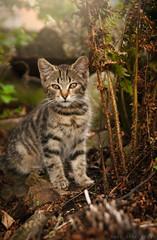 (Niightwalker) Tags: nikon sweden d90 nikond90 nature animals woods forest cat straycat