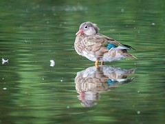 Manderin on Esthwaite Water. (Michael Sowerby Photography) Tags: wildlife birds duck nature naturalworld esthwaite water lake thelakedistrict naturephotography wildlifephotography animals reflection