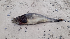 Something is rotten in the state of Denmark I (Rasande Tyskar) Tags: fish bird dead death sea shore beach strand kadaver tod fisch vogel seehund seal cadaver