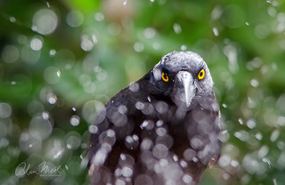 Currawong Sprinkler 2