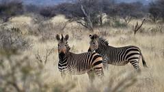 Bergzebras im hohen Gras (marionkaminski) Tags: namibia afrika africa zebra bergzebra farm tier animal animeaux dieren schwarzweis panasonic lumixfz1000